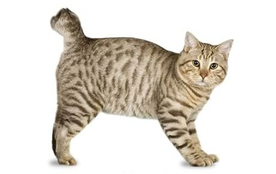 cat with short tail